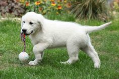 When I first started looking for my puppy, I was shocked at how much Golden Retriever puppies cost. Looking a little further into why, I… Retriever Puppies, Labrador Retrievers, Golden Retrievers, Amphibians, Reptiles, Service Dogs Breeds, Puppy Diapers, Curly Coated Retriever, Nova Scotia Duck Tolling Retriever