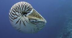 Nautilus, Tropical Fish, Animals, Animales, Animaux, Exotic Fish, Animal, Animais