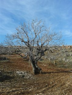 200 yaşındaki Antep Fıstığı ağacı. (200 -year-old pistachio tree) Saraymağara Köyü :)