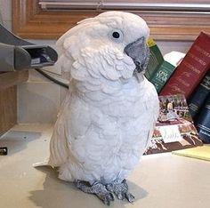 parrot training, umbrella cockatoos, training umbrella cockatoos, training cockatoos
