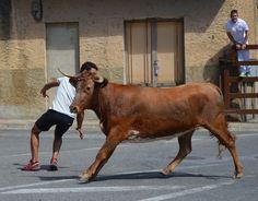 Santacara: Vacas Pedro Domínguez Año 2015 Cow, Horses, Animals, Cows, Animales, Animaux, Horse, Animal Memes, Animal