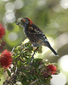 Akohekohe or Crested Honeycreeper , island of Maui in Hawaiʻi. by Jack Jeffrey/a