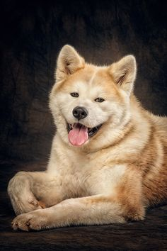 Japanese American Akita Dog #Puppy #Hound #Chien #Perro #hond #hund #Cane #Koira #Dogs #Puppies #Pup #Pooch