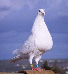 Living Styles, Pigeon, Beautiful Birds, Pakistan, Car, Nature, Animals, Tools, Birds