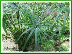 How to propagate Cyperus involucratus (Umbrella Plant/Sedge, Umbrella Grass/Papyrus, Dwarf Papyrus Grass)