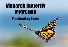Click here to learn fascinating facts about the #Monarch #Butterfly Migration