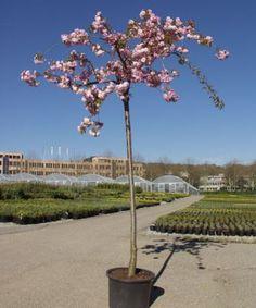 Cerisier pleureur du Japon - Prunus 'Kiku-shidare-zakura' - Arbres tiges et d'avenues - Pépinières Meylan Shop
