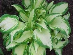 Hosta White Christmas.  One of the taller hostas with significant white centers.  Would like lots of these for the white garden.