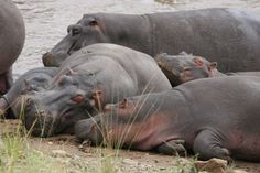 Hippos resting on a riverbank, Masai Mara by Richard Ainsworth