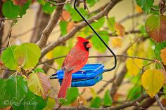 Male Cardinal - Autumn Mother In Heaven, Fall Back, Auntie, Cardinals, Autumn Leaves, Life Lessons, Angels, Birds, Earth