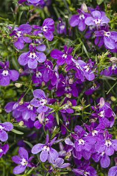Proven Winners - Laguna® Ultraviolet™ - Lobelia erinus purple bright violet purple plant details, information and resources. Edging Plants, Border Plants, Purple Plants, Purple Garden, Shade Garden, Colorful Flowers, Purple Flowers, Pastel Colors, Beautiful Gardens