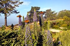 """""""Save the Monarchs, Spread the Milkweed""""       Organic Gardening magazine is encouraging people to grow 'milkweed' for the monarch butterflies. Pacific Grove resident comments on this...=]"""