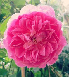 Harlow Carr rose