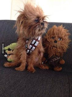 Yorkshire terrier & Chewbacca: spot the differences.