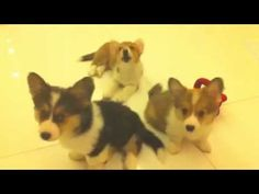 The Confused Corgi Puppies | The 40 Most Influential Corgis Of 2012