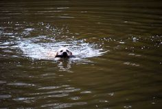 yellow labrador retriever dog playingswimming in a parkforest