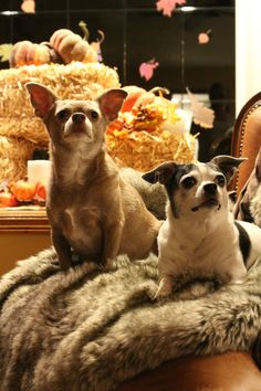 Just two chihuahuas