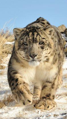 Snow Leopard, Animals, Animals Images, Knights, Gatos, Animales