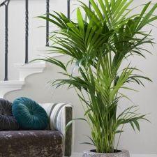Kentia Palm Feature