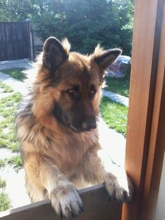"""Click visit site and Check out Best """"German Shepherd"""" T-shirts. This website is outstanding. Tip: You can search """"your name"""" or """"your favorite shirts"""" at search bar on the top. #germanshepherd #germanshepherdnames"""