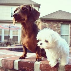 He has a pal named Scrappy. | Community Post: Monte The Maltese Is The Cutest Puppy You'll Ever Meet