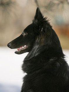 Belgian Sheepdog Groenendael (But it actually looks like a very young Dyerwolf, so yeah...)