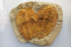 Trilobite fossils at the Oxford Natural History Museum. - Photo by Pippa Sutt, via Flickr.
