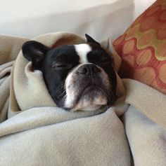 Linkin from Edmonton, Canada Wrapped in the Blanket (PHOTO) - http://www.bterrier.com/linkin-from-edmonton-canada-wrapped-in-the-blanket-photo/ https://www.facebook.com/bterrierdogs