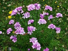 Лён идеально вписывается в мавританский газон, отлично гармонирует со многими засухоустойчивыми и солнцелюбивыми культурами, например, васильками. Он хорош и в смешанных миксбордерах, и деревенских палисадниках, и в современных садовых композициях, и в букетах. Для этого цветок в фазе бутонов выдергивают из земли вместе с корнем. Корень обрезают, а растение ставят в вазу. Такой букет сохраняет свою свежесть в течение 3-5 дней.