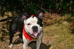 TO BE DESTROYED - 09/07/14 Brooklyn Center -P  My name is GROOT. My Animal ID # is A1011931. I am a male black and white pit bull mix. The shelter thinks I am about 2 YEARS old.  I came in the shelter as a STRAY on 08/26/2014 from NY 10310, owner surrender reason stated was STRAY. https://m.facebook.com/photo.php?fbid=861349930544554&id=152876678058553&set=a.611290788883804.1073741851.152876678058553&source=46&ref=stream
