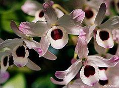 Olho-de-boneca – Dendrobium nobile, Dendróbio