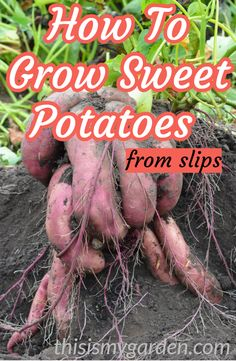 If you have ever wanted to grow sweet potatoes in your garden - then today's article is just for you. Our top tips for growing sweet potatoes! Sweet Potato Slips, Sweet Potato Plant, Sweet Potato Vines, Veg Garden, Garden Plants, Vegetable Gardening, Garden Tools, Organic Gardening, Gardening Tips