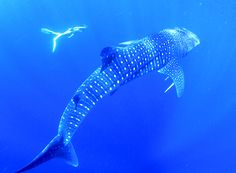 12 Amazing Things to See in Australia Swimming With Whale Sharks, Australian Road Trip, Amazing Pics, Amazing Things, Australia Travel Guide, Bottom Of The Ocean, Nonprofit Fundraising, Costa, Rock Pools