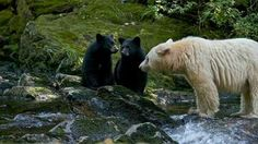 A polar bear with two black cubs. Or, is it a black bear with bleached fur?