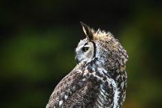 Long-Eared Owl Pinned by www.myowlbarn.com
