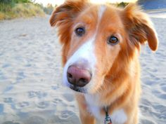 beach pup #bordercollie