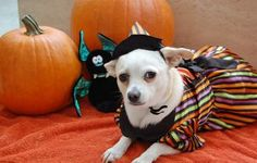 "Lilo is a 6-year-old Chihuahua mix adopted from a rescue where her dog mom, Jasmine, volunteered. ""At first, I never cared for 'purse dogs,' but when I met her at the rescue, we both fell in love with each other,"" Jasmine says. ""She was abandoned at a grooming business and the owner was never located. She's very feisty, but at the same time, extremely intelligent, and easier to train than any dog I have ever had before."""