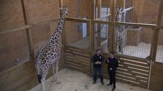 March or April baby? Zookeepers say April the giraffe is in 'home stretch' Video - ABC News