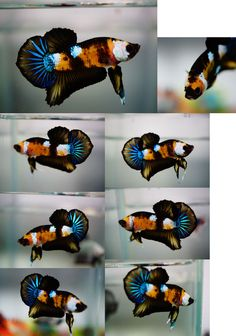 Fancy koi halfmoon plakat - I am in love with this fish!