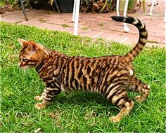 41 Best Cats images in 2018   Cats, Toyger cat, Bengal cats