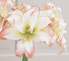 ...and more flowers! ;) (Something about the name, i'm sure!) ~Nymph Amaryllis~