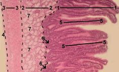 Histology - DUODENUM Stained with haematoxylin and eosin 1 - tunica mucosa 2 - tunica submucosa 3 - tunica muscularis propria 4 - tunica serosa 5 - villi 6 - glands (crypts) in the lamina propria of the mucosa 7 - glands in the tunica submucosa (Brunner's glands)