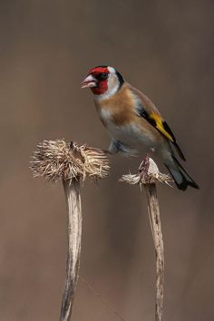Goldfinch Photo by Dave Blackwell - Pixdaus