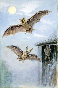 Noctule and Long-eared Bat