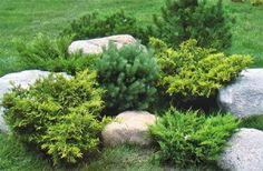 composición de coníferas para su jardín