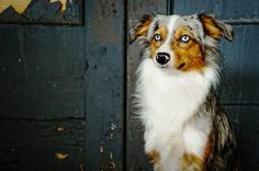 miniature australian shepherd. blue merle. bear. 9 months. puppy. dog.