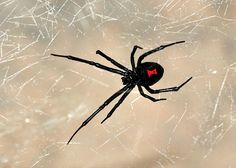 It's Not a Cat, Wine Glass, Sunset or Flower. It's a Freaking Black Widow Spider Right Outside Our Back Door! Female Black Widow, Black Widow Spider, Spider Drawing, Types Of Spiders, Bee Pictures, Spider Bites, Great Works Of Art, Young Black, Animal Drawings