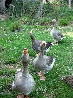 Gray Toulouse geese.  We've had a number of these and I can just hear them talking.