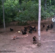 Backyard-Chickens-Grazing