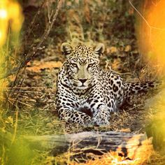Leopard spotted at Chief's Camp, Botswana, safaris at Chiefs were one of the highlights of our honeymoon!